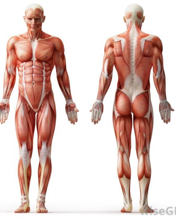 human-muscle-anatomy